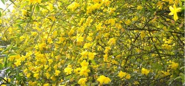 Gelsemium sempervirens o también conocido como Jazmín amarillo