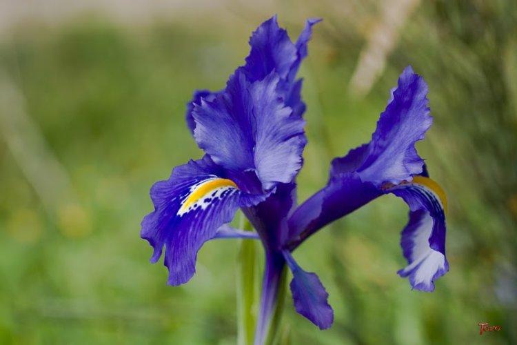 Lirio azul o violeta de los alpes