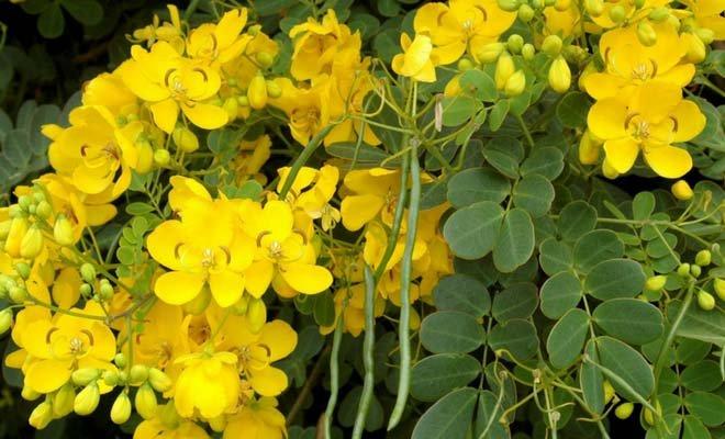 Cassia Angustifolia, principal ingrediente de Ciruelax